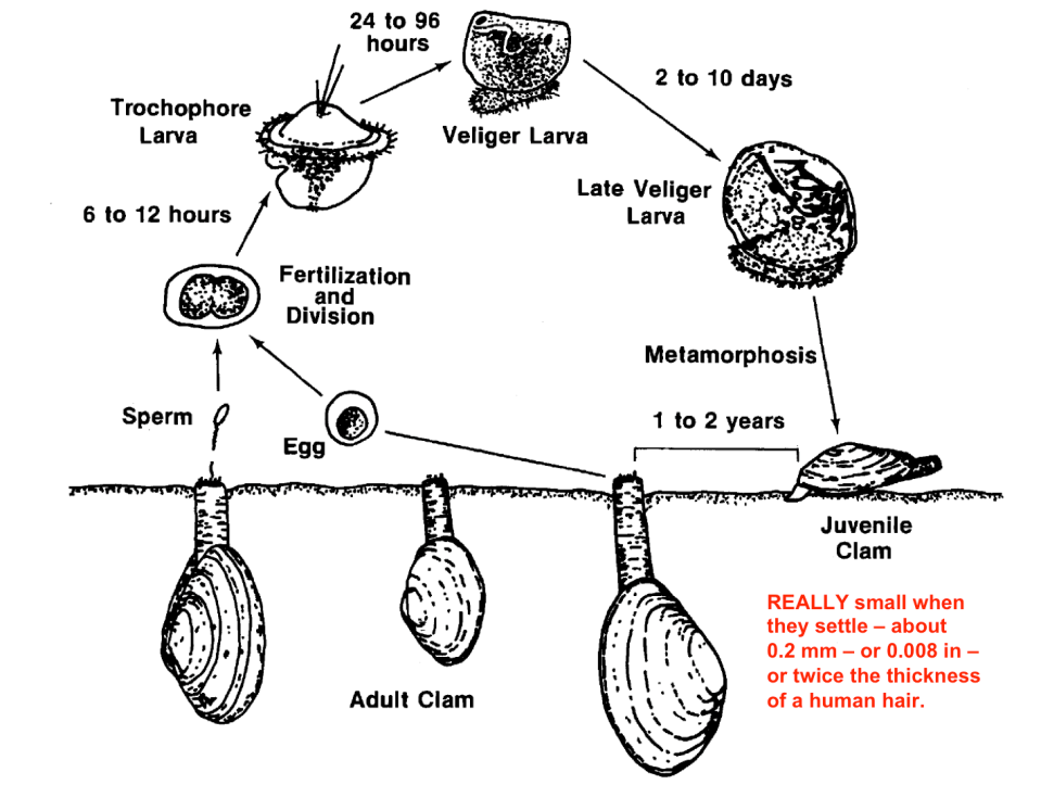 Clam Lifecycle